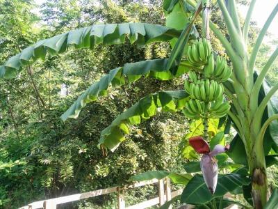 Langzeiturlaub Kolumbien, Kolumbien, Ziemlich heiß ist es hier, aber den Bananen scheint es nichts auszuma