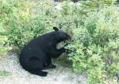 Kurzurlaub Jasper (Stadt), Alberta, Kanada, Ein Schwarzbär beim Beeren naschen - ich war keine zwei Meter von ihm