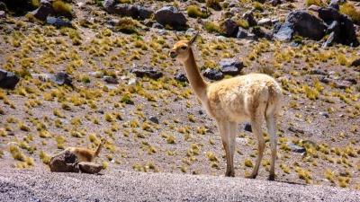 Langzeiturlaub Atacama Wüste, Chile, Lama auf dem Alitplano