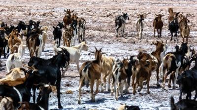 Langzeiturlaub Atacama Wüste, Chile, Eine Horde Ziegen in der Atacama Wüste