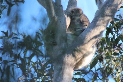 Langzeiturlaub Australien, Australien, Koala