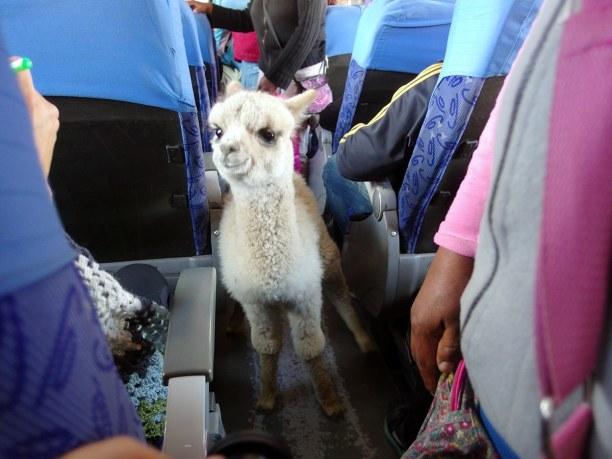 Langzeiturlaub Bolivien, Bolivien, Busfahrt mit Lama :)