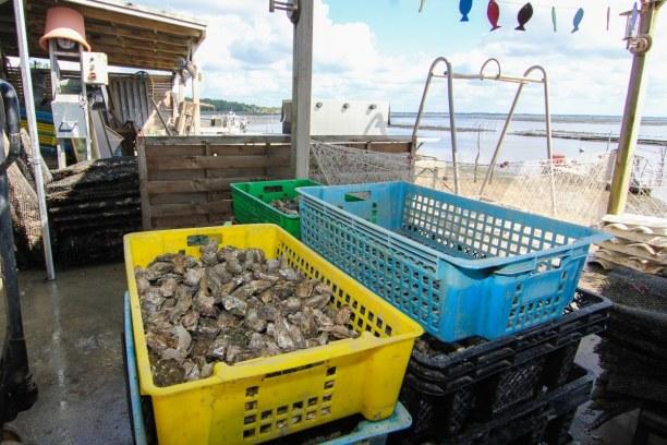 Langzeiturlaub Aquitanien, Frankreich, Die geernteten Austern kommen frisch auf den Tisch und schmecken ganz