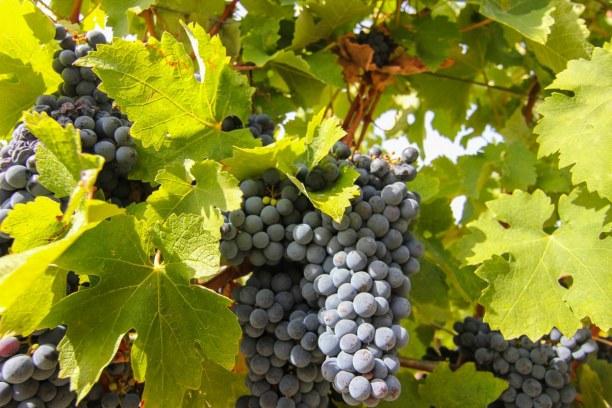 Langzeiturlaub Aquitanien, Frankreich, So sehen die reifen Trauben aus, bevor sie geerntet werden.