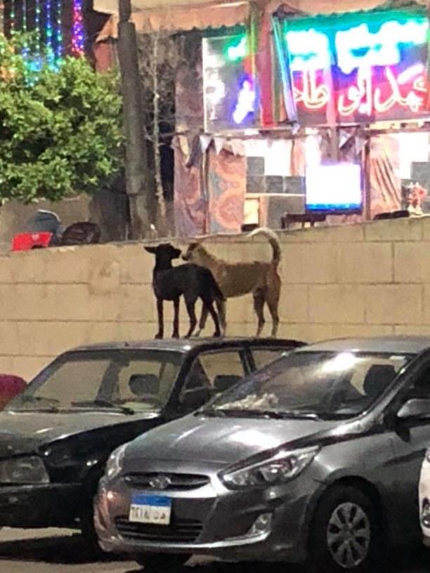 Kurzurlaub Kairo, Ägypten, wilde Strassenhunde auf einem Autodach