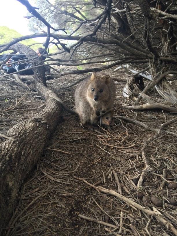 Langzeiturlaub Australien, Australien, süßeste Tier auf Erden - Quokka
