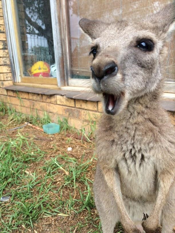 Langzeiturlaub Australien, Australien, Floyd das Haustier - Kangaroo