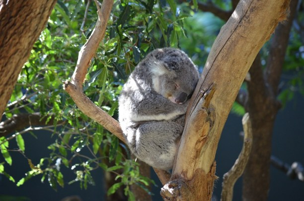 1 Woche New South Wales, Australien, Im Taronga Zoo kannst du über 2.600 Tiere entdecken, so auch Koalas.