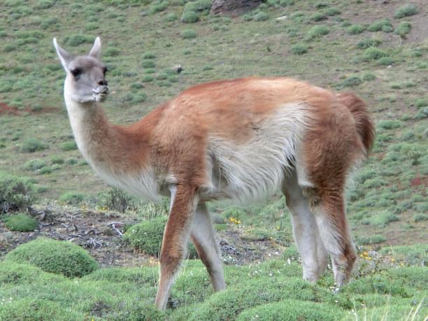 Kurztrip Patagonien, Chile, Ganz alleine ist man in Patagonien dann doch nie. Tierliebhaber kommen