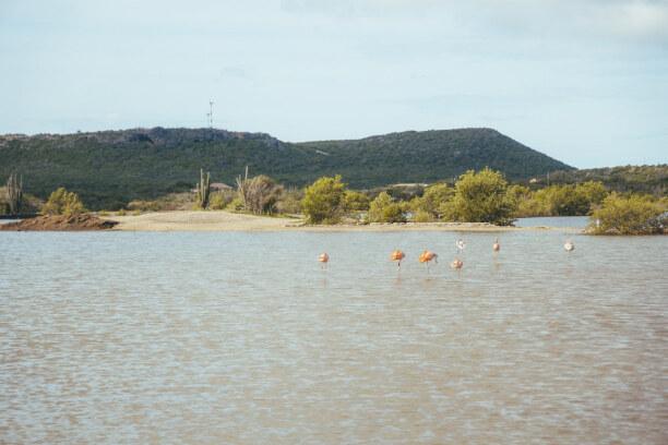 1 Woche Curaçao, Curaçao, Auf Curacao gibt es auch wild lebende Flamingos. Diese sind anders als