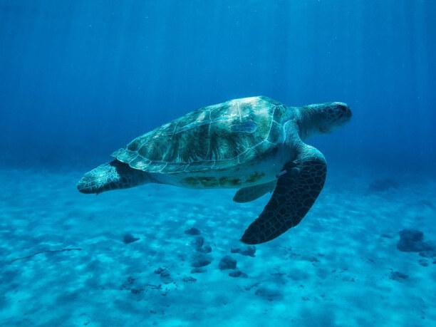 1 Woche Curaçao, Curaçao, Auf Curacao gibt es frei lebende Meeresschildkröten. Besonders viele
