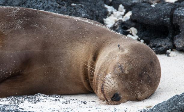 Kurztrip Galapagos (Stadt), Ecuador, Ecuador, Aber auch beim Anblick der Seelöwen geht mir das Herz auf.
