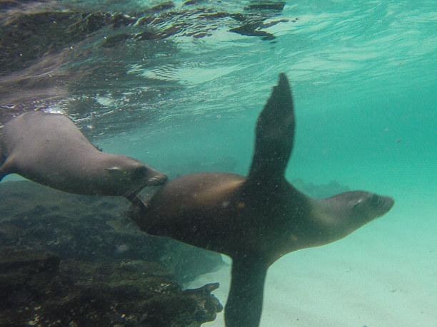 Kurztrip Galapagos (Stadt), Ecuador, Ecuador, Absolut klasse mit Seelöwen zu schnorcheln. :-)