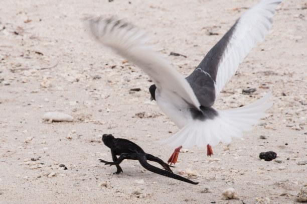 Kurzurlaub Galapagos (Stadt), Ecuador, Ecuador, Manchmal gibt es auch Streit im Paradies.