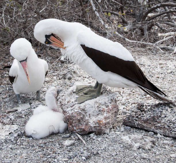 Kurztrip Galapagos (Stadt), Ecuador, Ecuador, Die jungen Vögel am Boden aufzuziehen scheint nicht gefährlich zu se
