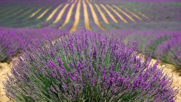 Eine Woche Provence, Frankreich, Die Blütezeit des Lavendels ist im Juni und Juli. Dann kannst du in d