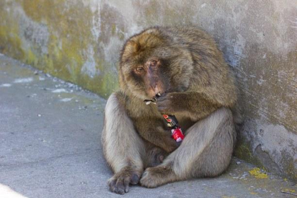 Kurzurlaub Gibraltar, Gibraltar, Eine Affe nach seinem Beutezug. Er hat einem Tourist die Tasche aus de