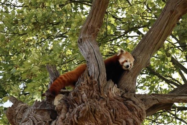 Kurztrip Südengland, Großbritannien, Rote Pandas tummeln sich auf Bäumen und am Boden, während die Mögli