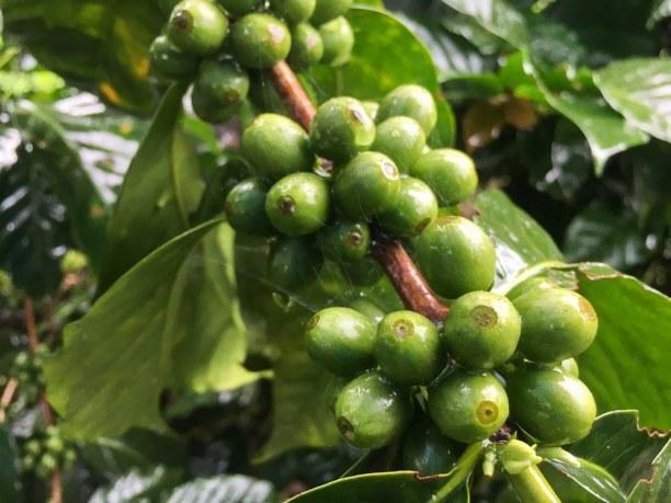 Kurzurlaub Filandia (Stadt), Kolumbien, Kolumbien, Kaffeepflanzen