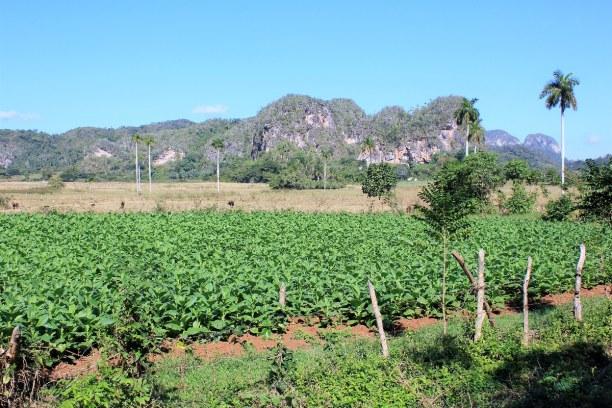 Drei Wochen Atlantische Küste / Norden, Kuba, Von Havanna ging es für uns weiter nach Vinales, das für den Tabakan