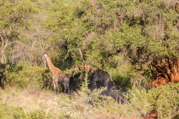 Kurzurlaub Soutpansberg (Stadt), Landesinnere, Südafrika, Stolz bewegen sich die Giraffen durch den Busch. Das Gebiet von Leshib