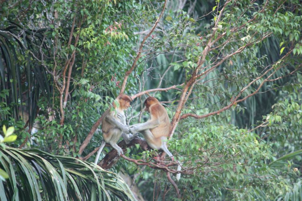 Zwei Wochen Sabah (Borneo), Malaysia, Sabah, Borneo Malaysia