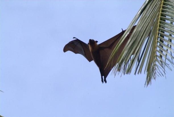 2 Wochen Ari Atoll, Malediven, Auf einigen Inseln wirst du auch Flughunde sehen, die in den Bäumen h