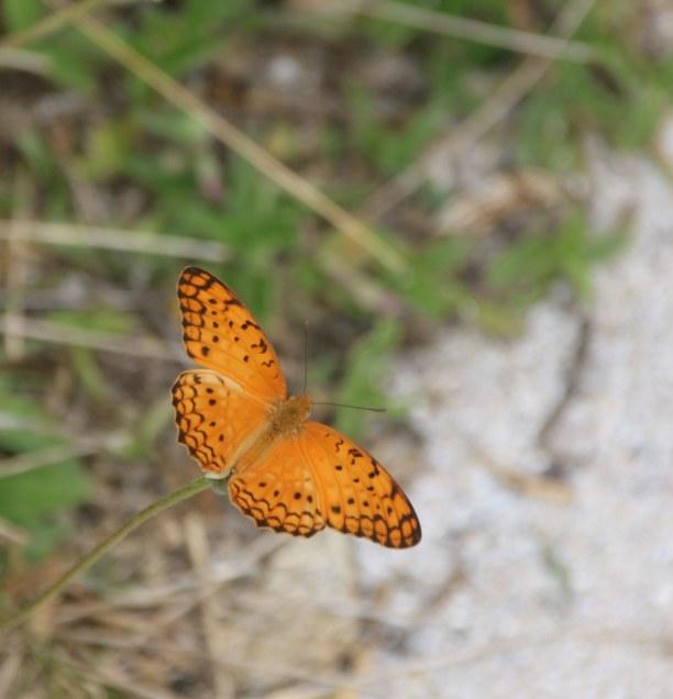 Kurzurlaub Nordküste, Mauritius, Ein Schmetterling auf Ile Plate
