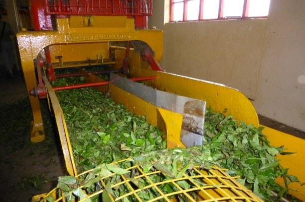 10 Tage Südküste, Mauritius, In der Teeplantage Bois Cheri