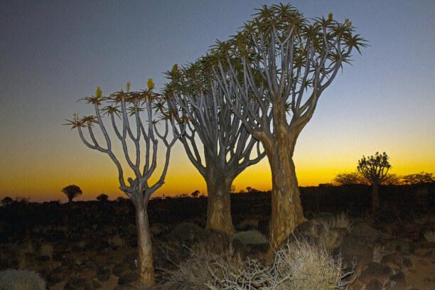 3 Wochen Namibia, Namibia, Köcherbäume sind ein Wahrzeichen von Namibia. Im Süden stehen sie t
