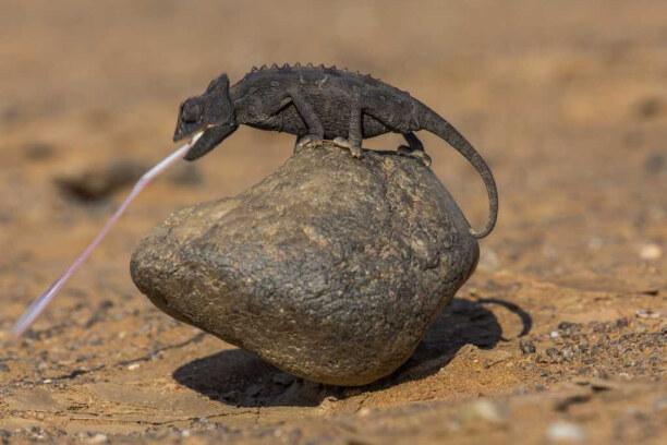 """Drei Wochen Namibia, Namibia, Namaqua-Chamäleons gehören zu den """"Little Five"""" der Wüste."""