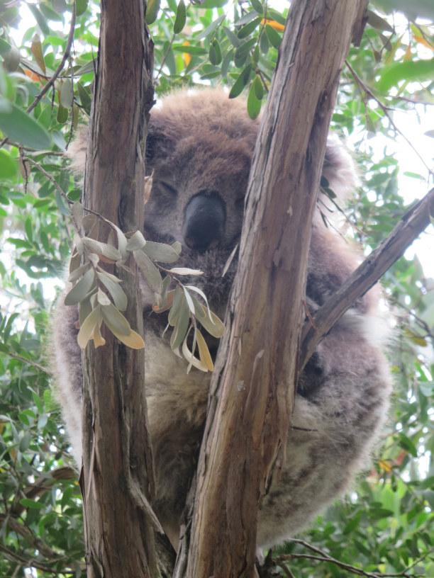 Langzeiturlaub Südinsel, Neuseeland, Koala in der Wildnis