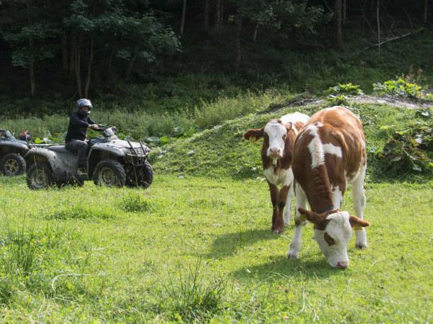 Kurztrip Hinterglemm (Stadt), Salzburger Land, Österreich, Die Kühe zeigen sich zuerst unbeeindruckt. Als ich näher komme nehme