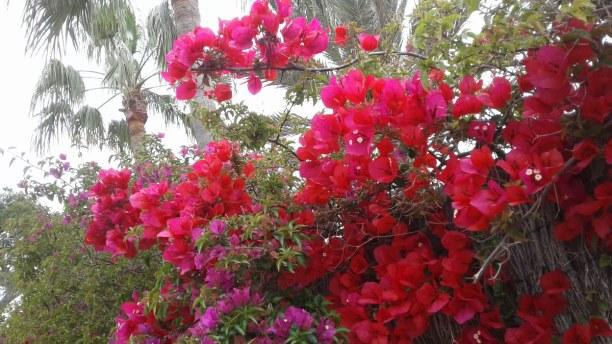 1 Woche Mallorca, Spanien, Schöne Blütenpracht...einfach nur traumhaft