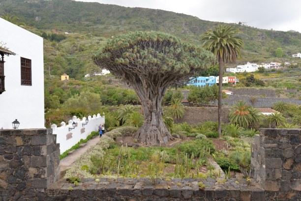 1 Woche Teneriffa, Spanien, El Drago - wer nur den Drachenbaum sehen möchte, kann sich den Eintri