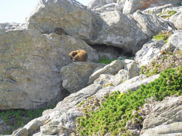 Zwei Wochen Kapstadt & Umgebung, Südafrika, Lemming am Kap der guten Hoffnung