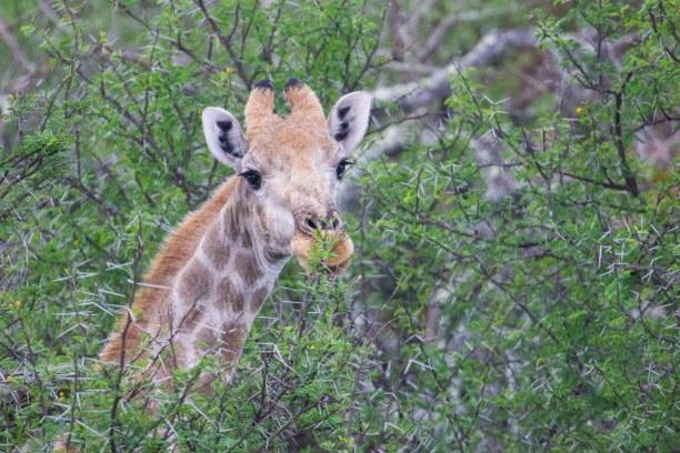 Kurzurlaub Landesinnere, Südafrika, Mit ihren langen Zungen können Sie geschickt die Blätter von den dor