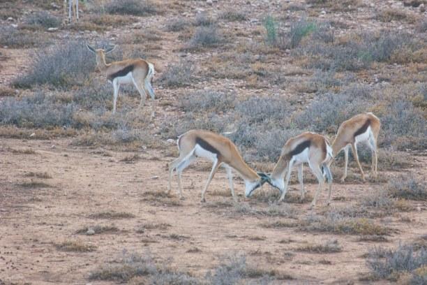 Kurzurlaub Landesinnere, Südafrika, Die kleinen Böcke kämpfen um die Gunst der weiblichen Tiere.