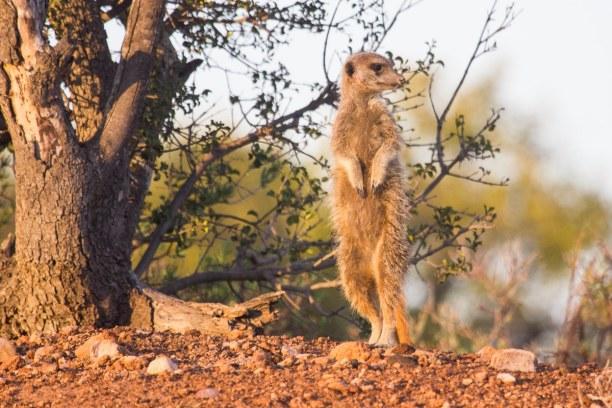 Kurztrip Landesinnere, Südafrika, Die Buffelsdrift Game Lodge ist für die kleinen Erdmännchen bekannt.