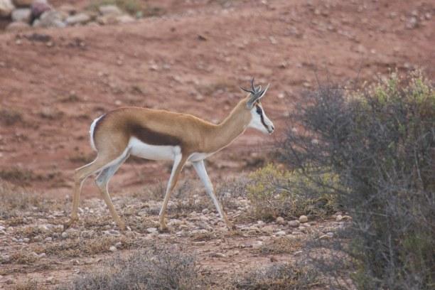 Kurztrip Landesinnere, Südafrika, Kleine und größere Antilopen tummeln sich überall in Südafrika. Di