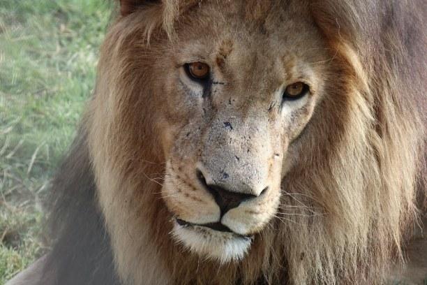 Kurztrip Nationalpark, Südafrika, Dieser Löwe befindet sich im Moholoholo Rescue Center in Begleitung e