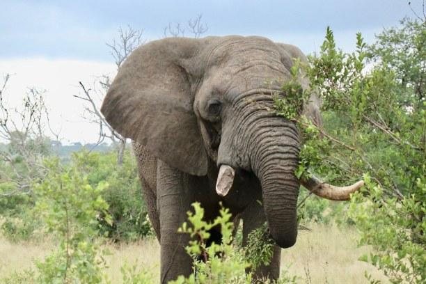 Kurztrip Nationalpark, Südafrika, Dieser Elefantenbulle streift alleine durch das Game Reserve. Er steht