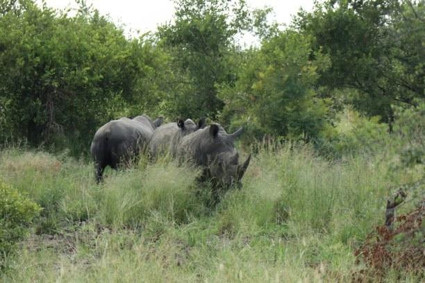 Kurzurlaub Nationalpark, Südafrika, Die Nashörner im Manyeleti Game Reserve werden wie die anderen Tiere