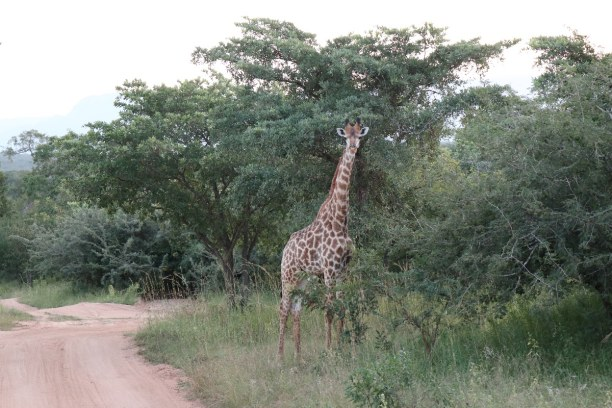 Kurzurlaub Nationalpark, Südafrika, Es ist schon ein besonderes Erlebnis, das erste Mal die großen Giraff