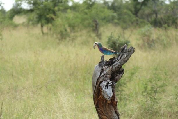 Kurzurlaub Nationalpark, Südafrika, Neben den großen Wildtieren wimmelt es während der Safari von Vögel