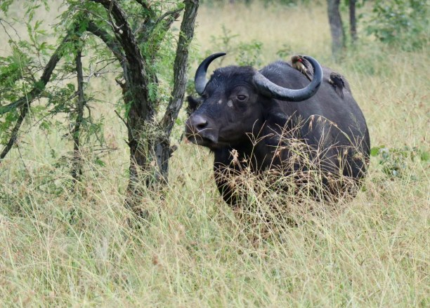 Kurztrip Nationalpark, Südafrika, Büffel mit Begleitung. Ein Vogel hat es sich auf dem Rücken des stat