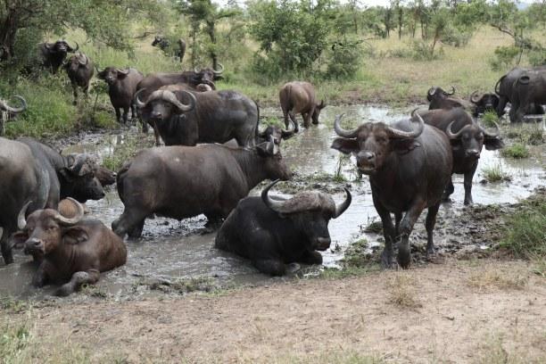 Kurzurlaub Nationalpark, Südafrika, Am späteren Vormittag haben sich die Büffel an der Wasserstelle nied