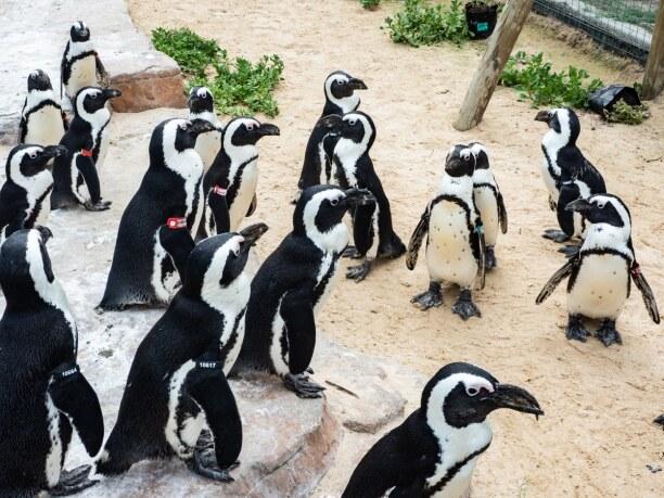 Langzeiturlaub Port Elizabeth (Stadt), Südküste, Südafrika, Im Seabird Sanctuary werden Brillenpinguine wieder aufgepeppelt und na