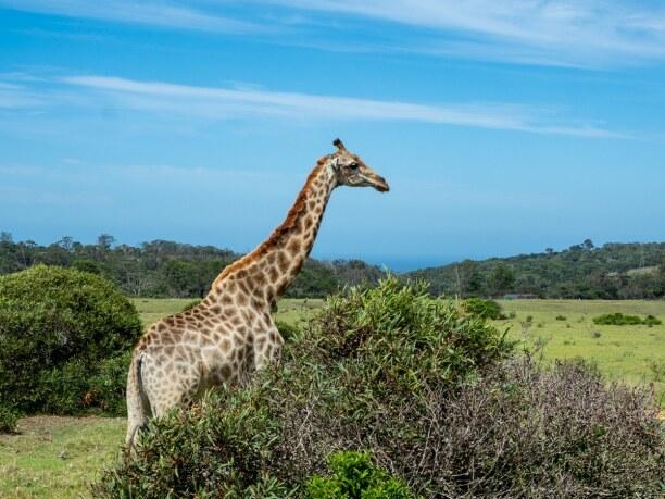 Langzeiturlaub Port Elizabeth (Stadt), Südküste, Südafrika, Auch im Kragga Kamma Game Park könnt ihr viele Tiere entdecken. Gleic