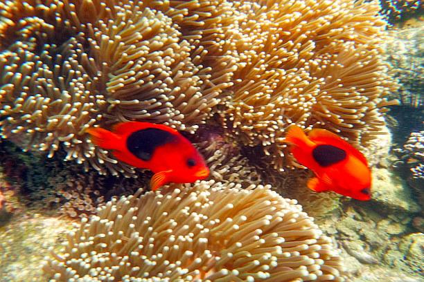 Eine Woche Ko Lipe (Stadt), Südthailand, Thailand, Anemonenfische